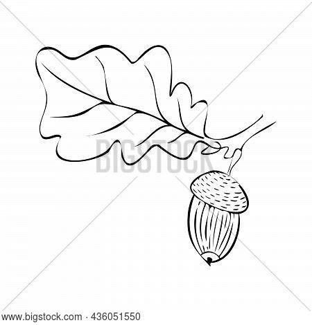Vector Illustration Of An Oak Twig With An Acorn. Fruit Oak. Autumn Element For Composition. Linear