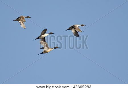 Four Northern Pintails Flying In Blue Sky