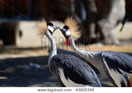Kissing African Crowned Cranes