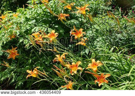 Vibrant Orange Flowers And Buds Of Common Daylily In June