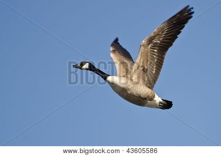 Lone Canada Goose Flying in Blue Sky poster