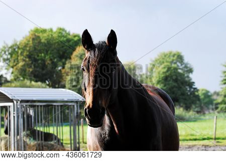 Portrait Of A Brown Horse Standing Outside On A Paddock
