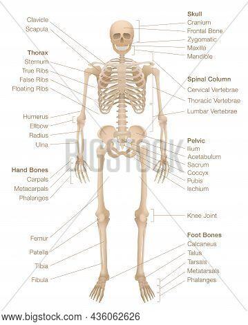 Human Skeleton Chart. Labeled Skeletal System With Named Bones, Skull, Spinal Column, Pelvic, Thorax
