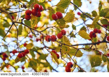Hawthorn Tree, Red Ripe Berries Hang From The Branches Of Hawthorn. Berry Close-up, Soft Selective S