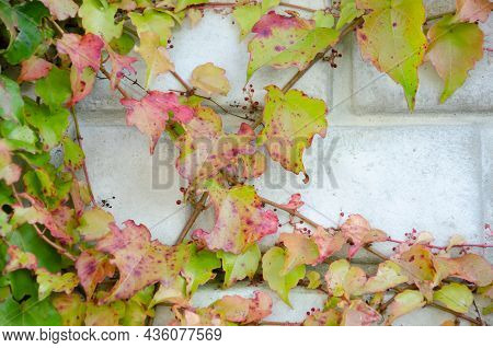 Ivy Branches Are Woven On Old Fence. Texture Of Multicolored Leaves And Brick Wall With Copy Space.