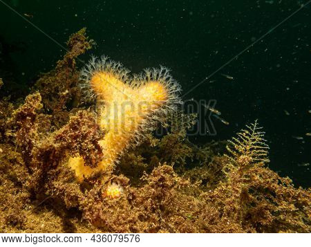 A Close-up Picture Of The Soft Coral Dead Mans Fingers Or Alcyonium Digitatum. Picture From The Weat