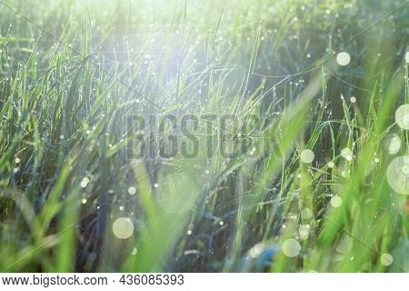 Morning Dew On The Green Grass. Defocused Image