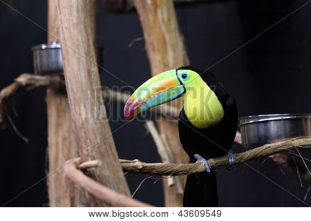 Rainbow Billed Toucan, Ramphastos Sulfuratus