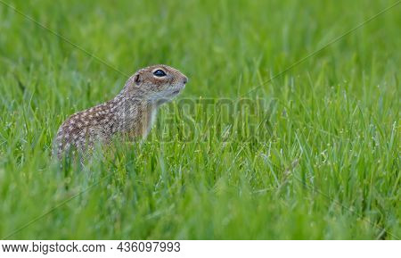Speckled Ground Squirrel Or Spotted Souslik (spermophilus Suslicus) Sits At Rich Green Grassland