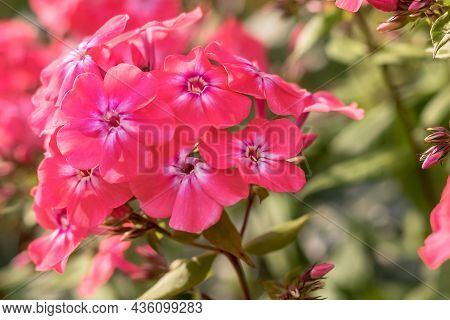 Summer Bloom Of Pink Phlox Close-up In The Garden.