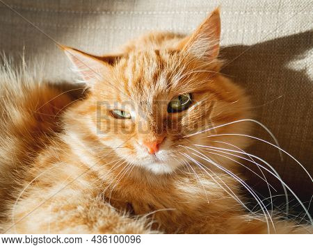 Close Up Portrait Of Green Eyed Ginger Cat. Adorable Fluffy Pet Is Tanning On Hard Sunlight. Fuzzy D