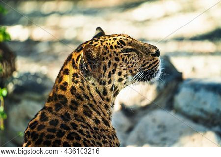 Beautiful Big Wild Cat Jaguar Or Panther On Blurred Sunny Nature Background.