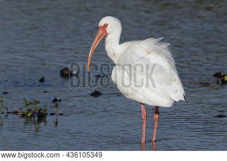 A White Ibis Standing In A Calm Blue Florida Wetland