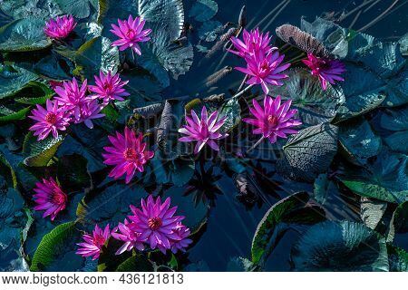 Beautiful Pink Lotus Flower With Green Lotus Leaf In The Pond, Countryside Of Thailand.
