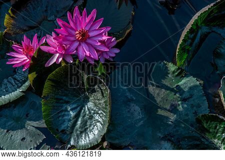 Beautiful Pink Lotus Flower With Green Lotus Leaf In The Pond, Countryside Of Thailand, Copy Space.