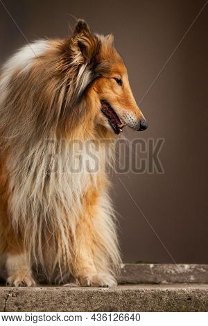 Tired Rough Collie Sitting On A Top Of Stairs And Panting   Beautiful Long-haired Collie Sitting On