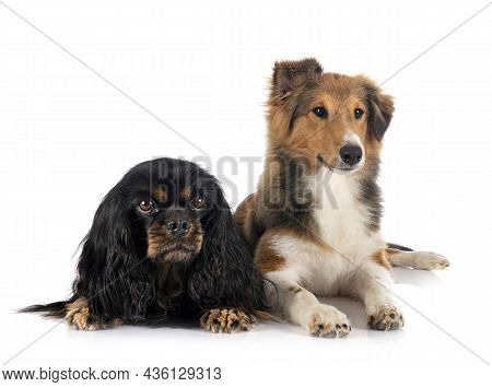 Shetland Sheepdog And Cavalier King Charles In Front Of White Background