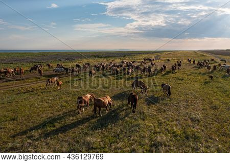 A Herd Of Horses In The Meadow. A Group Of Stallions Graze, Eat Grass. Summer Walking Of Farm Animal
