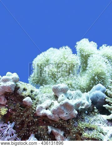 Colorful Coral Reef At The Bottom Of Tropical Sea, Sarcophyton Coral Known As Leather Coral And Sea