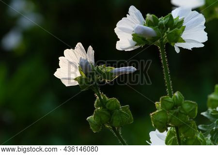 The White Flowers Of The Musky Mallow Are Illuminated By A Contour Light. On A Dark Blurry Backgroun
