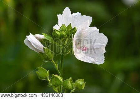 The White Flowers Of The Musky Mallow Begin To Bloom At The Top Of The Plant. Close-up.