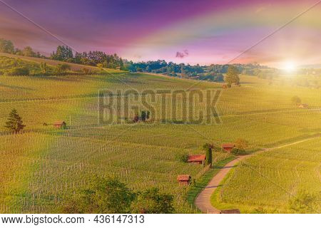Rows Of Grapes With Rainbow On The Terraced Vineyards Of Hallau Village In Switzerland. Hallauerberg