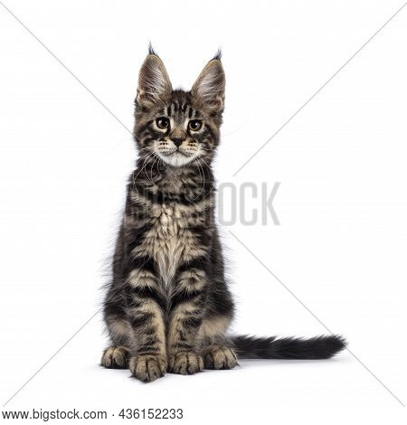 Adorable Classic Black Tabby Maine Coon Cat Kitten, Sitting Straight Up Facing Camera. Looking Strai