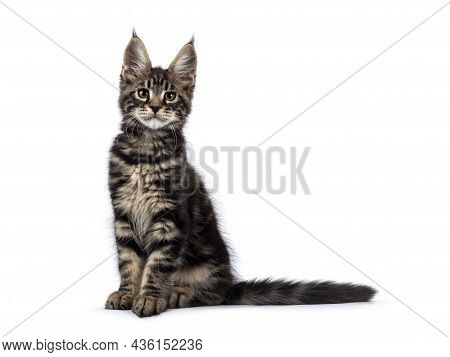 Adorable Classic Black Tabby Maine Coon Cat Kitten, Sitting Straight Up Side Ways. Looking Straight