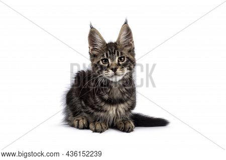 Adorable Classic Black Tabby Maine Coon Cat Kitten, Laying Down Facing Camera. Looking Straight Into