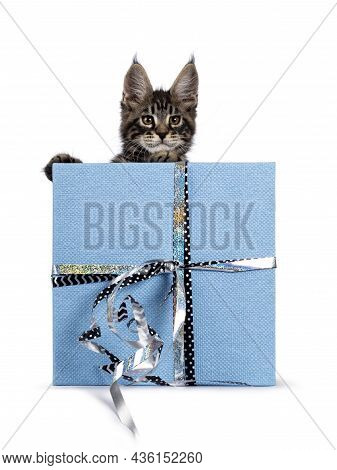 Adorable Classic Black Tabby Maine Coon Cat Kitten, Standing Behind Blue Gift Wrapped Box. Looking S
