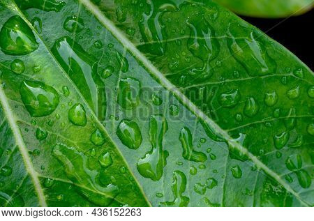 Close Up The Beautiful Green Leaf With Drops Of Water After Rain In The Morning. Macro Raindrops On