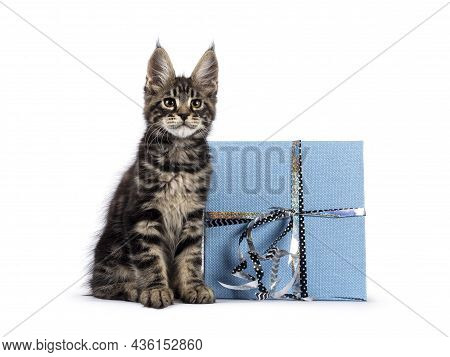 Adorable Classic Black Tabby Maine Coon Cat Kitten, Sitting Beside Blue Gift Wrapped Box. Looking St