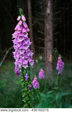 Digitalis Purpurea Flower, Foxglove, Common Foxglove, Purple Foxglove, Ladys Glove. Dark Unsharp Tre