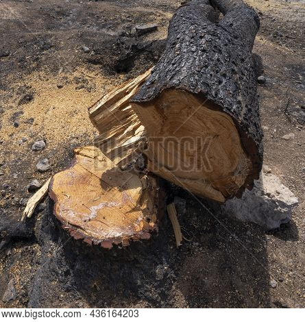 A Burnt Pine Tree Cut Off After A Wildfire In The Mediterranean Woodland In The Judea Mountains Near