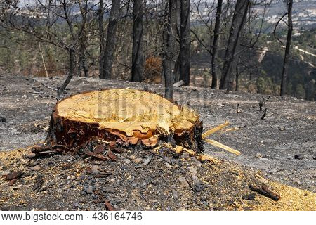 The Stump Of A Burnt Old Pine Tree, Cut Off After A Wildfire In The Mediterranean Woodland In The Ju