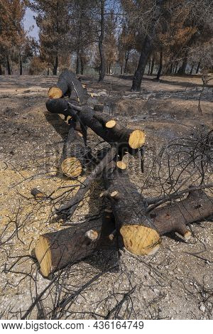 Burnt Pine Trees Cut Off After A Wildfire In The Mediterranean Woodland In The Judea Mountains Near