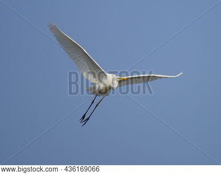 big white egret flying against the blue sky (ardea alba)