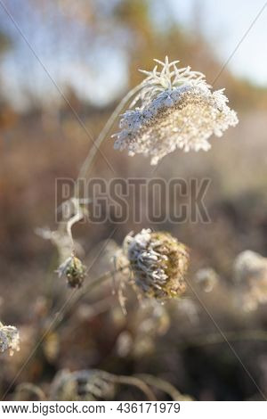 Hoarfrost On Dry Grass In Meadow. Frost Covered Grass Or Wild Flowers. First Frost In Autumn Country