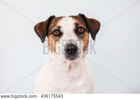 Portrait of a Jack Russell terrier dog. Studio shot of a pet