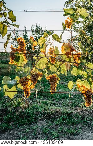 Detail Of Sweet Organic Juicy Grapevine In Sunny Autumn.closeup Of White Grapes In Vineyard,grape Ha