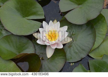 White Water Lily - Latin Name - Nymphaea Alba