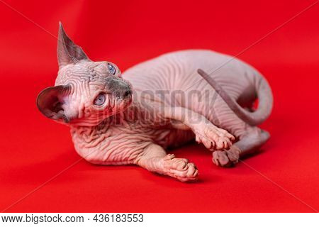 Portrait Of Canadian Sphynx Cat Of Blue Mink And White Color, Lying With His Head Raised On Red Back
