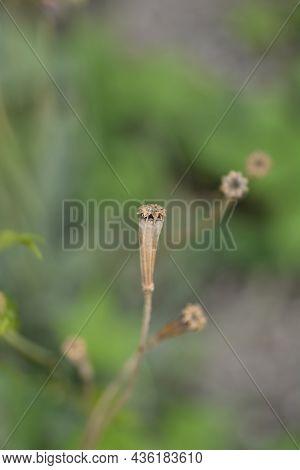 Wild Orange Poppy Seed Pod - Latin Name - Papaver Popovii