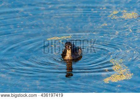 Pied-billed Grebe, Podilymbus Podiceps Juvenile Swimming In Wetlands