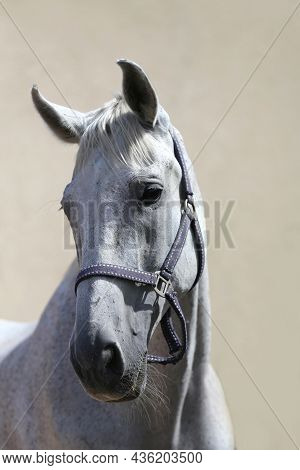 Face Of A Purebred Gray Horse. Portrait Of Beautiful Gray Mare. A Head Shot Of A Single Horse. Grey