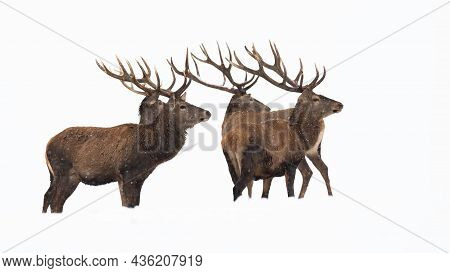 Bunch Of Red Deer Observing On Snow Cut Out On Blank