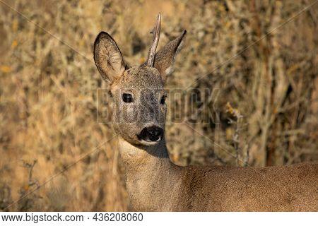 Roe Deer Shedding Antler In Autumn Nature In Close-up