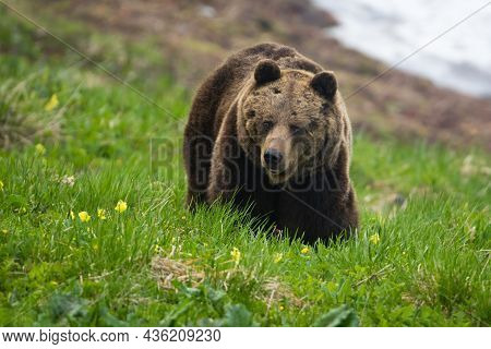 Brown Bear Moving On Green Glade In Sprintime Nature
