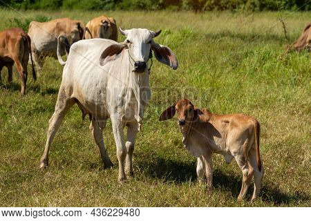 Cow With Calf Standing  On  Grazing , One Young Standing Brown Cow And A White Cow Together.
