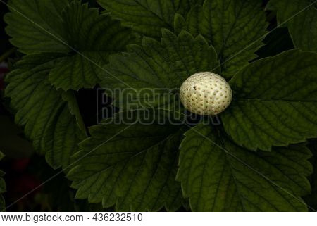 Bush Of Fresh White Strawberry, Strawberry Fruits In Growth At Garden, Process Yield Organic Strawbe